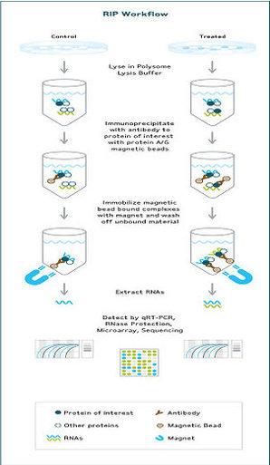 rna结合蛋白免疫沉淀(rip)技术(二)